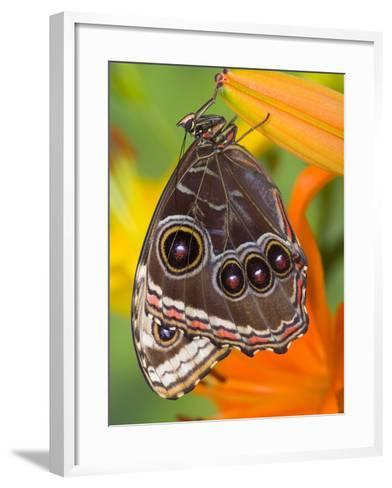 Blue Morpho Resting on an Orange Asiatic Lily-Darrell Gulin-Framed Art Print