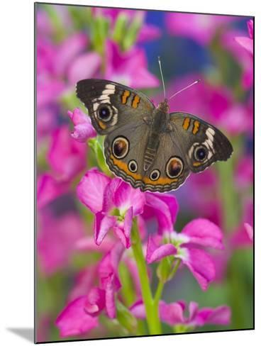Buckeye Butterfly-Darrell Gulin-Mounted Photographic Print
