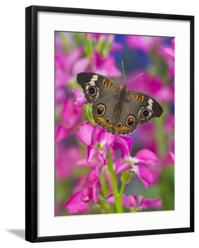 Buckeye Butterfly-Darrell Gulin-Framed Art Print