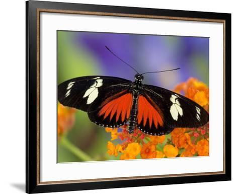 Heliconius Doris in Red Phase Resting on Lantana-Darrell Gulin-Framed Art Print