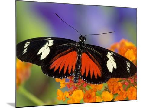 Heliconius Doris in Red Phase Resting on Lantana-Darrell Gulin-Mounted Photographic Print