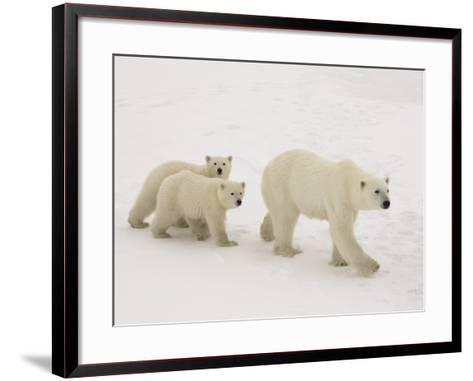 Polar Bear Mother and Cubs-Daniel Cox-Framed Art Print