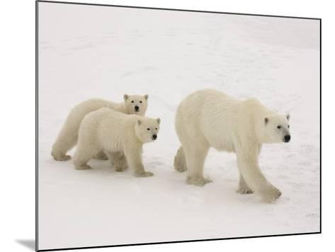 Polar Bear Mother and Cubs-Daniel Cox-Mounted Photographic Print