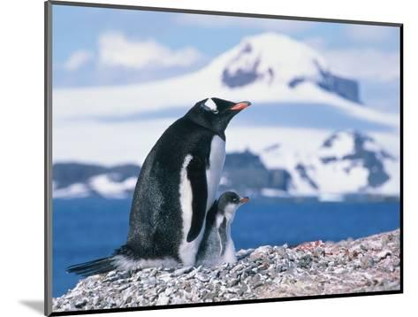 Mother and baby gentoo penguins-Kevin Schafer-Mounted Photographic Print