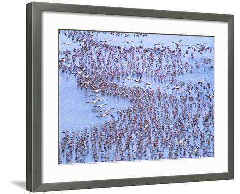 Great White Pelicans Fly, Flamingoes Feed in Lake Nakuru-John Eastcott & Yva Momatiuk-Framed Art Print