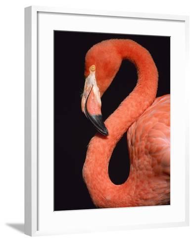 American flamingo-Herbert Kehrer-Framed Art Print