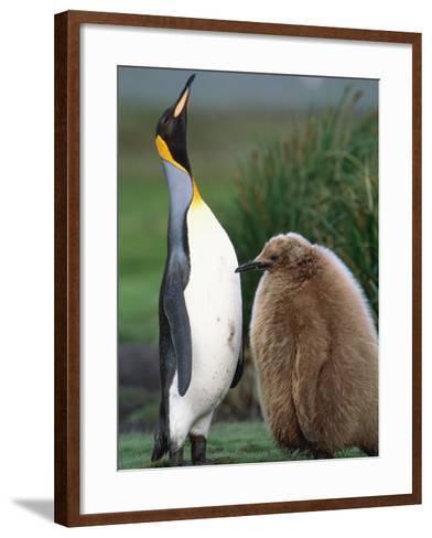 King Penguin Adult and Chick-Kevin Schafer-Framed Art Print