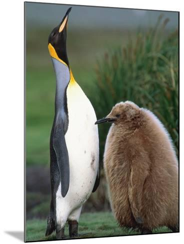 King Penguin Adult and Chick-Kevin Schafer-Mounted Photographic Print