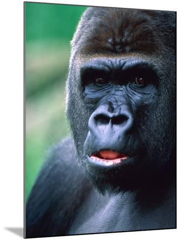 Gorilla-Frank Krahmer-Mounted Photographic Print