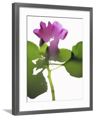 Purple Impatiens-Envision-Framed Art Print