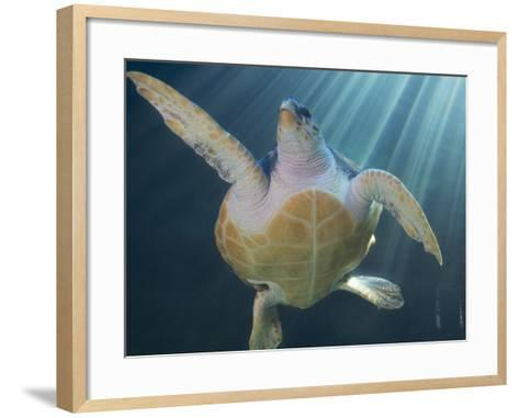 Turtle Swimming in Aquarium--Framed Art Print