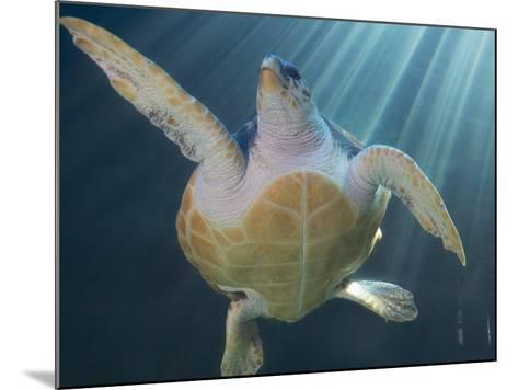 Turtle Swimming in Aquarium--Mounted Photographic Print