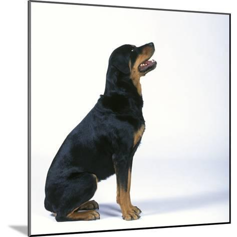 Rottweiler--Mounted Photographic Print