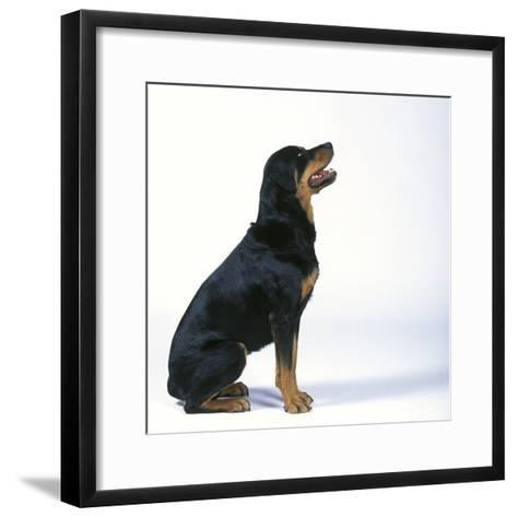 Rottweiler--Framed Art Print