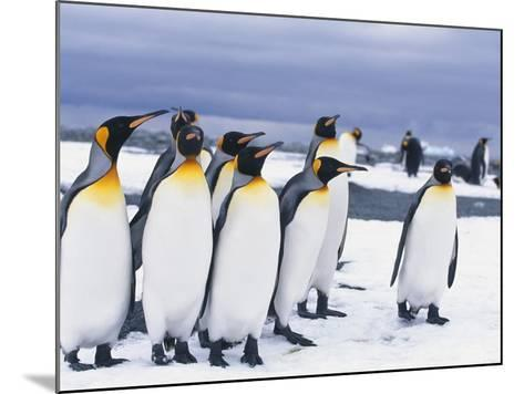 King Penguins--Mounted Photographic Print