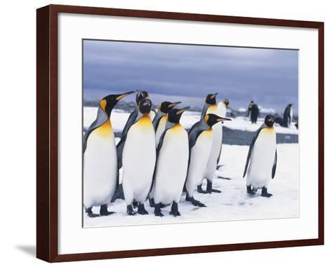 King Penguins--Framed Art Print