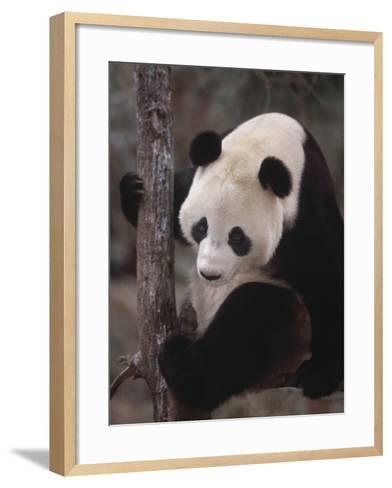 Panda Climbing Tree--Framed Art Print