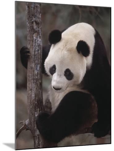 Panda Climbing Tree--Mounted Photographic Print