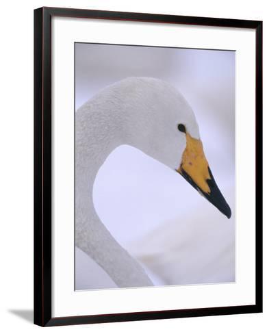 Whooper Swan--Framed Art Print