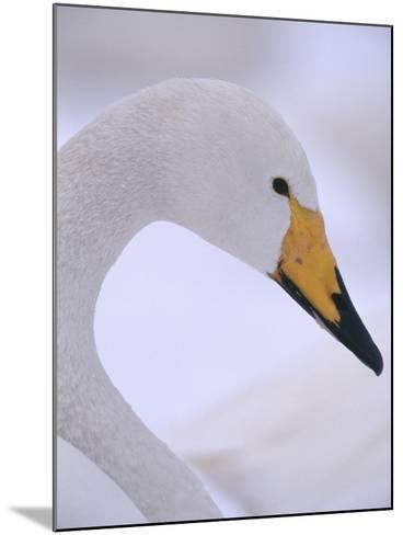 Whooper Swan--Mounted Photographic Print