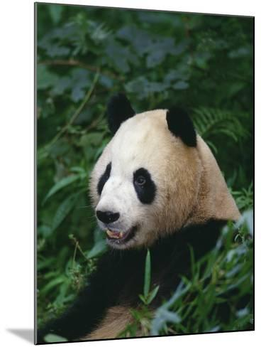 Giant Panda in Forest--Mounted Photographic Print