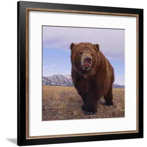 Grizzly Licking Its Chops--Framed Art Print
