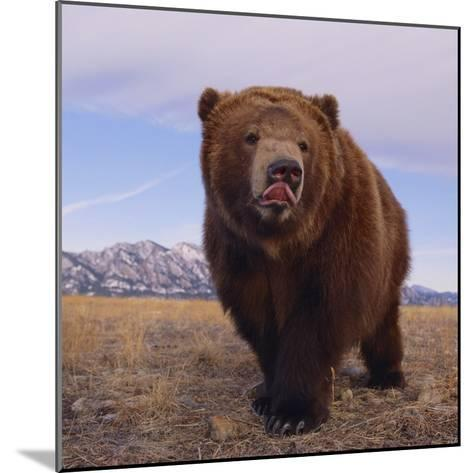 Grizzly Licking Its Chops--Mounted Photographic Print