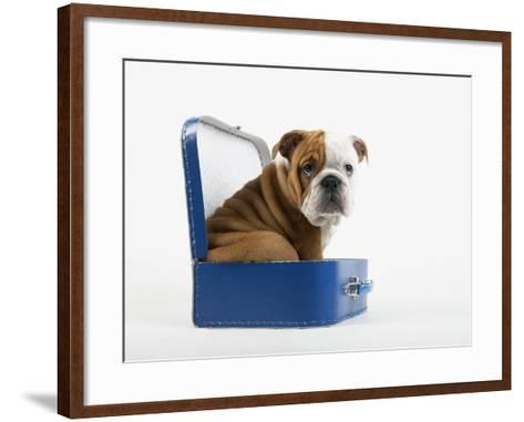 English Bulldog Puppy Sitting in a Lunch Box-Peter M^ Fisher-Framed Art Print