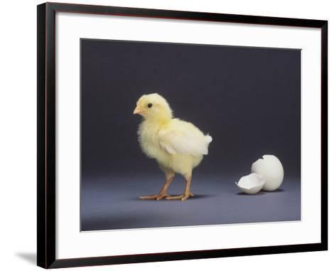 Leghorn Chick--Framed Art Print