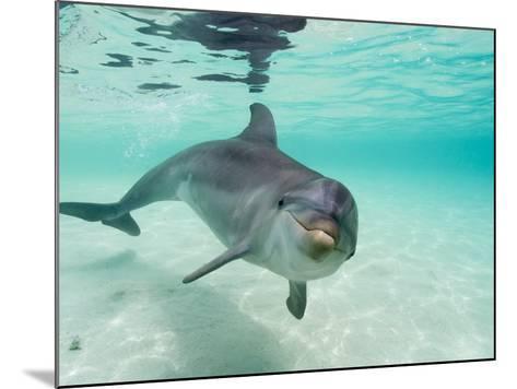 Bottlenose Dolphin-Stuart Westmorland-Mounted Photographic Print