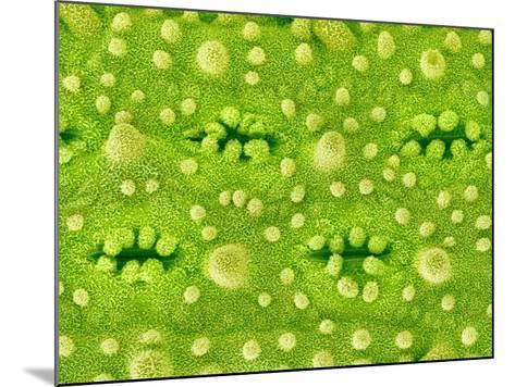 Stomata on Rice Plant Leaf-Micro Discovery-Mounted Photographic Print