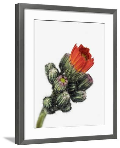 Orange Hawkweed-Frank Krahmer-Framed Art Print