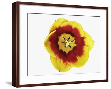 Tulip Blossom-Frank Krahmer-Framed Art Print