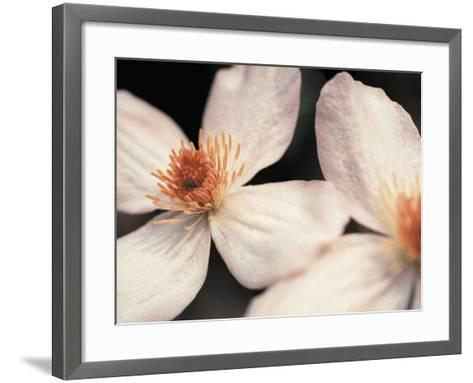 Close up of two white flowers against dark background--Framed Art Print