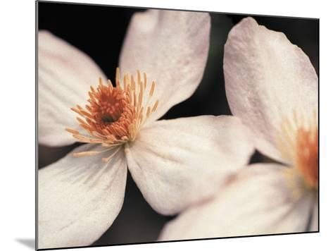 Close up of two white flowers against dark background--Mounted Photographic Print