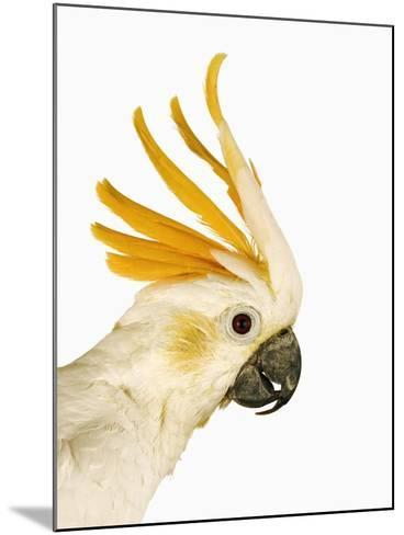 Cockatiel-Martin Harvey-Mounted Photographic Print