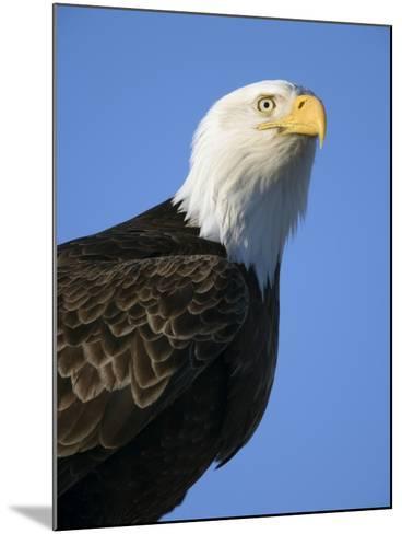 American Bald Eagle-Paul Souders-Mounted Photographic Print