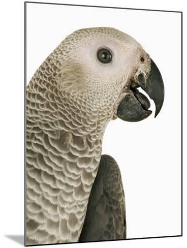 Grey Parrot-Martin Harvey-Mounted Photographic Print