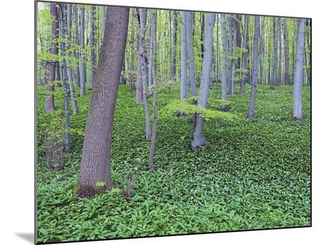 Trees in Forest-Frank Lukasseck-Mounted Photographic Print
