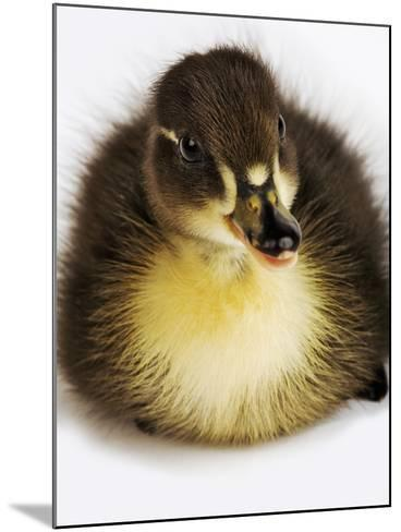Call Duck Duckling-Martin Harvey-Mounted Photographic Print