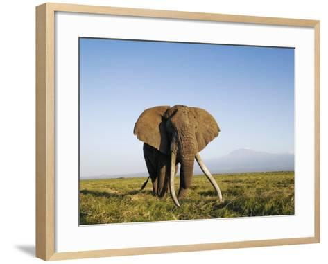 African Elephant with Large Tusks-Martin Harvey-Framed Art Print