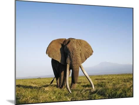 African Elephant with Large Tusks-Martin Harvey-Mounted Photographic Print