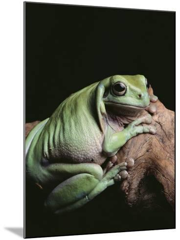 Green Tree Frog--Mounted Photographic Print