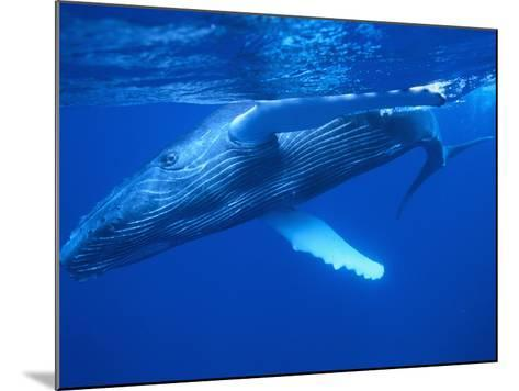 Humpback Whale--Mounted Photographic Print