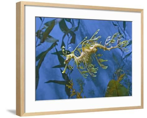 Close-Up of Leafy Sea Dragon-Hal Beral-Framed Art Print