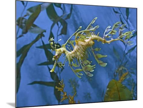 Close-Up of Leafy Sea Dragon-Hal Beral-Mounted Photographic Print