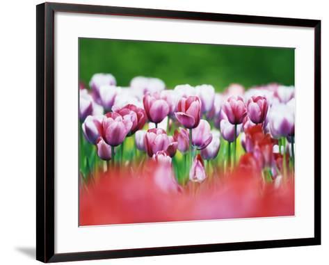 Pink Tulips-Frank Krahmer-Framed Art Print