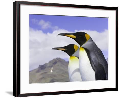 King Penguins-John Eastcott & Yva Momatiuk-Framed Art Print