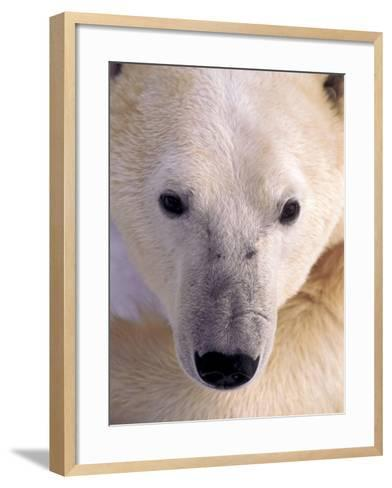 Polar bear-Kevin Schafer-Framed Art Print