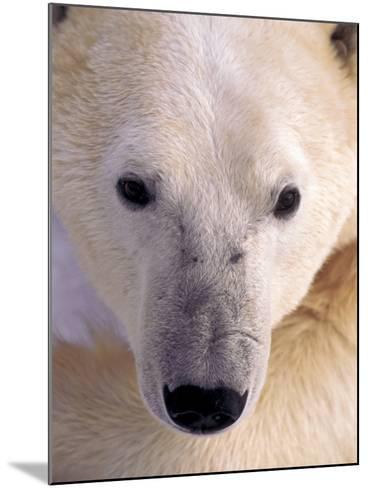 Polar bear-Kevin Schafer-Mounted Photographic Print
